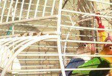 Photo of Hledá se malá modrá samička papoušíka z Mlékojed