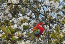 Photo of V Mlékojedech létá papoušek, zřejmě rosela pestrá